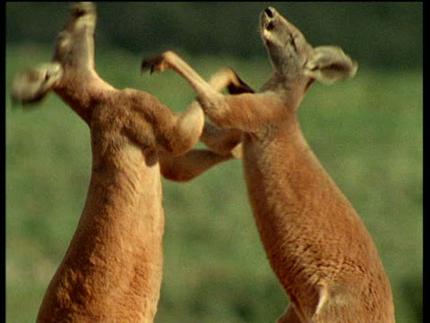 Two male red kangaroos spar in outback