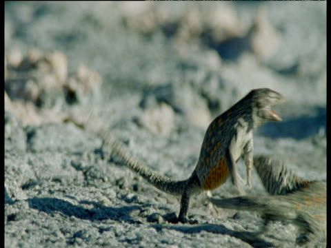 Two male salt pan lizards fight ferociously over territory