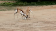 Two male Springbok fighting for dominance, Kgalagadi Transfrontier Park, South Africa