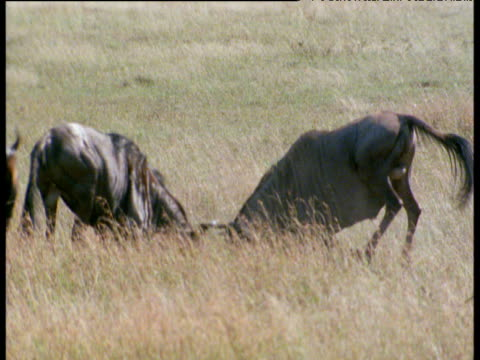 Two male wildebeests rut on savanna and victor pursues his females