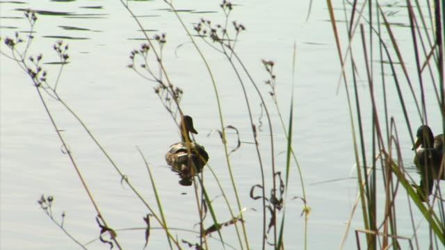 MS PAN Two Mallards (Anas platyrhynchos) swimming on pond, Potsdam, Germany