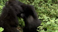 Two mountain gorillas wrestle amid leafy vegetation. Available in HD.