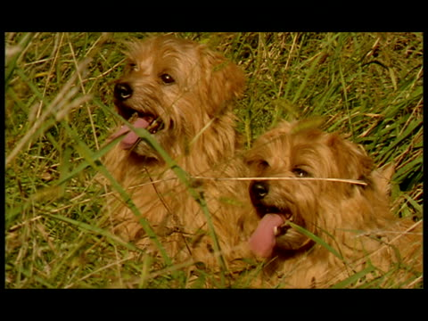 CU, Two Norfolk Terriers sitting in tall grass, panting with tongues out, USA