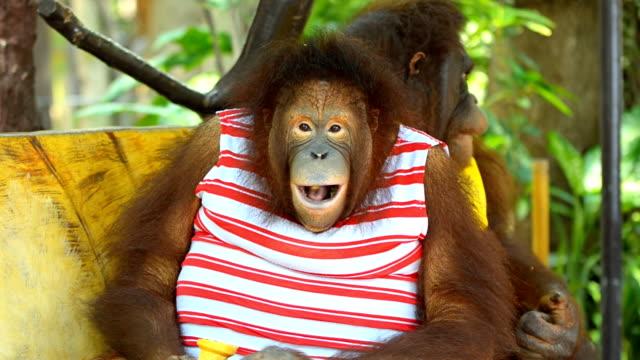Two orangutan eating ice cream.