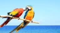 Two parrots - birds in love
