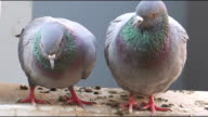 Two Pigeons sitting