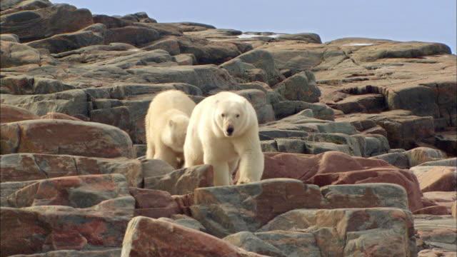 Two Polar bears walking on rock