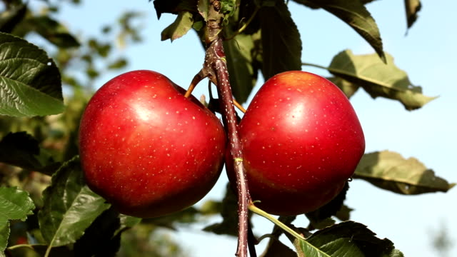 Two red apples - close up