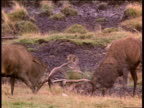 Two Red deer stags locking antlers during fight