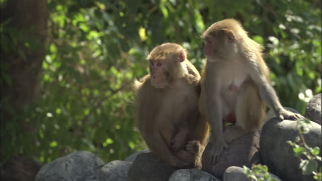 Two Rhesus macaques look around sitting on wall, Rishikesh Available in HD.