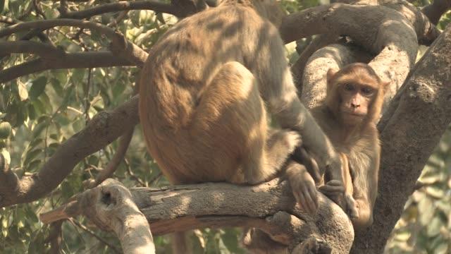 MS, Two rhesus macaques (Macaca mulatta) on tree, Varanasi, Uttar Pradesh, India