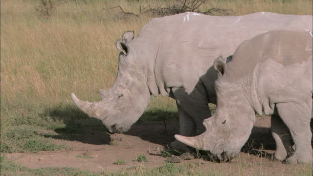 MS Two rhinoceros grazing on grassland / South Africa, South Africa, Africa