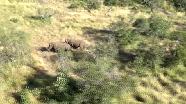 AERIAL WS TS Two rhinoceros running through grasslands/ South Africa