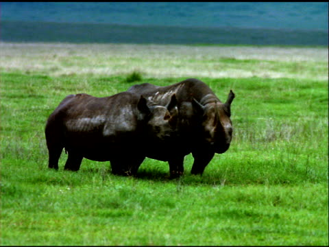 Two rhinoceroses standing in grasslands of Serengeti National Park, Tanzania