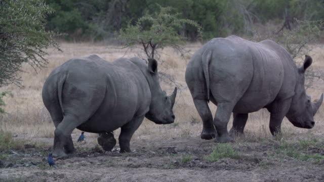 Two rhinos in waterhole slow motion/ South Africa