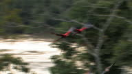 WS PAN TU Two Scarlet Macaws (Ara macao) flying over river, then landing and perching in tree in lush rainforest in Manu National Park / Peru