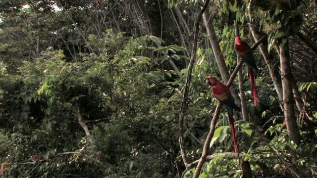 WS two scarlet macaws sitting on vine/ macaws flying away/ Manu National Park, Peru