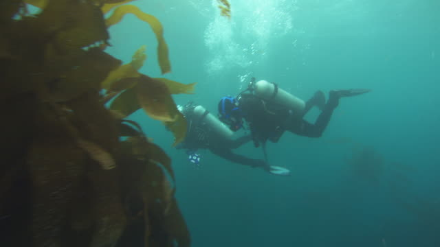 Two scuba divers swim through a kelp forest. Available in HD.