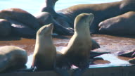 Two sea lion pups arching back and taking in the sun