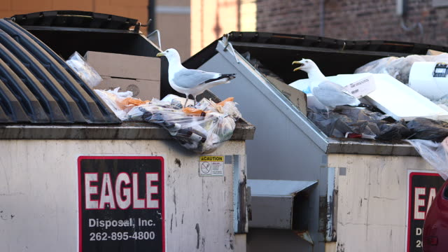 Two seagulls look for food in garbage dumpsters in a parking lot behind a group of restaurant in the Historic Third Ward District