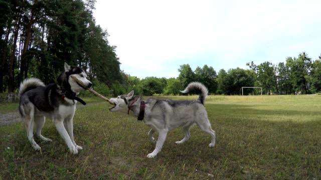 Zwei Siberian Huskies kämpfen für einen Stock.