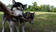 Two Siberian Huskies are fighting for a stick.
