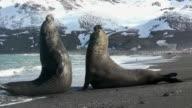 MS PAN Two Southern elephant seals (Mirounga leonina) fighting on beach / South Georgia, Georgia