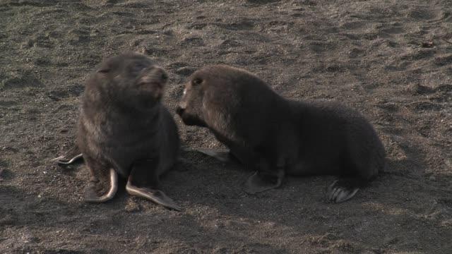 CU, Two southern fur seal (Arctocephalus gazella) puppies playing on beach, South Georgia Island, Falkland Islands, British overseas territory