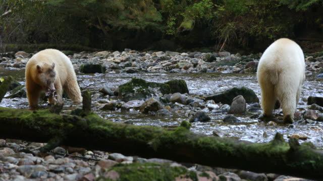 Two Spirit Bears (Ursus americanus kermodei) on a riverbed