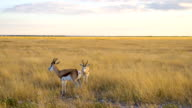 WS Two Springbok Gazelles In Namibian Savannah