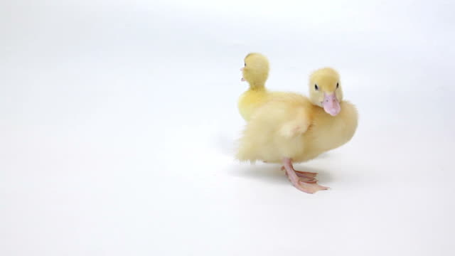 Two squeaking ducklings on white background