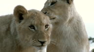 Two tawny lions with their white sibling