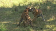 Two tigers play fight in a forest clearing in Pench, India.