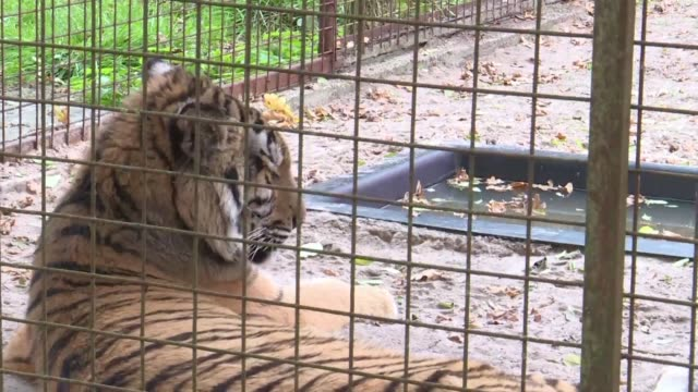 Two tigers who were traumatised and emaciated from war in Syria arrive in a Dutch refuge and are settling into their new home far from the conflict