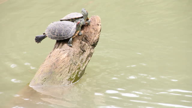 Zwei turtle die auf einem Baumstumpf.