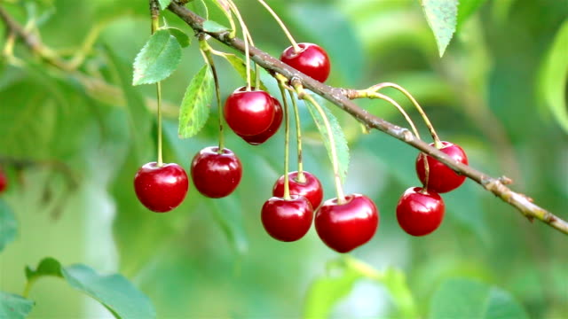 Two videos of cherry tree in the garden-real slow motion
