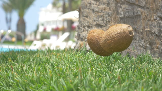 Two videos of coconuts falling on the grass in 4K