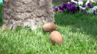 Due video di cocco cubi sull'erba-real al rallentatore