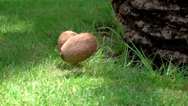 Two videos of falling coconut on the grass-real slow motion