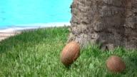 Twee video's van dalende kokosnoot op het gras-real slow motion