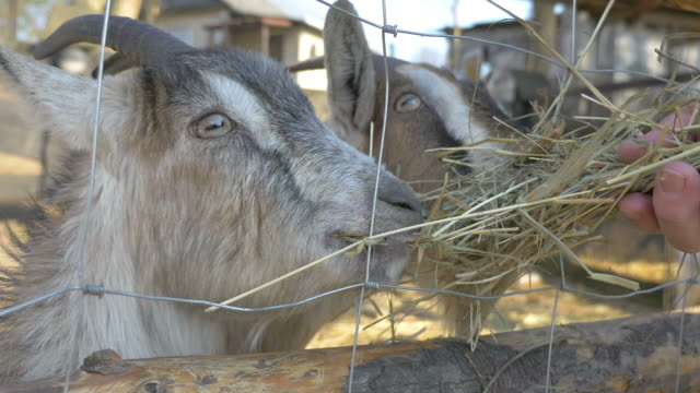 Two videos of feeding goats family in 4K