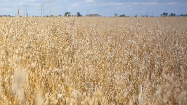 Two videos of oat field in 4K-professional electronic slider
