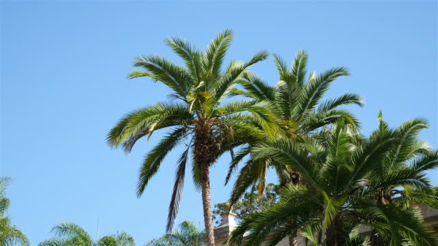 Two videos of palm tree in 4K