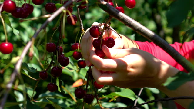 Two videos of picking cherry fruits in real slow motion
