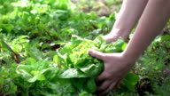 Two videos of picking lettuce in real slow motion