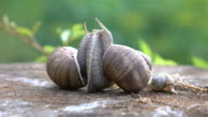 Two videos of snails couple in love in 4K
