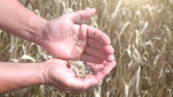 Two videos of wheat grains in the hands in the field-slow motion