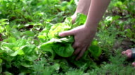 Two videos of woman picking lettuce in real slow motion