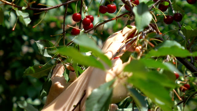 Two videos of women picking cherry fruit in 4K