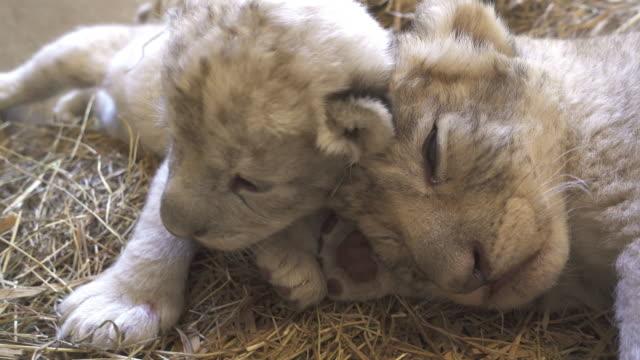twee weken oude baby leeuw